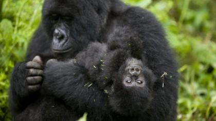 Esto es lo que hacen los gorilas de montaña cuando nadie los mira: cantar y tirarse pedos