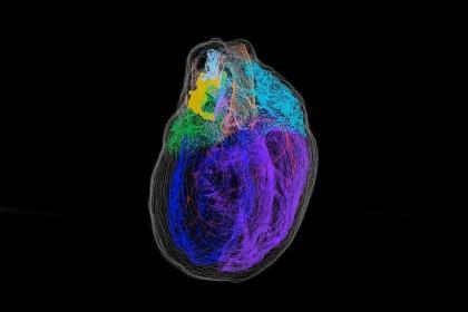 Este detallado mapa en 3D es el primero que muestra todas las neuronas de un corazón