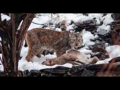 El lince del Himalaya filmado por primera vez cazando un Markhor, Pakistán [Eng]