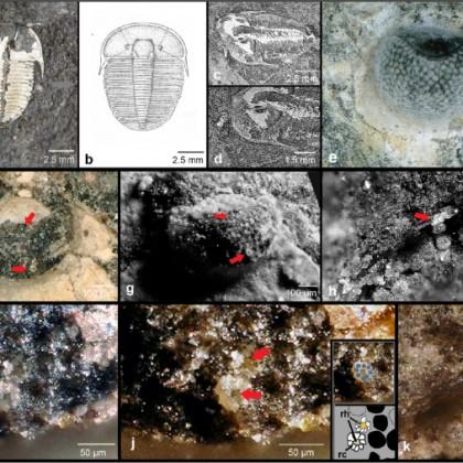 Información sobre un ojo compuesto de 429 millones de años (ENG)