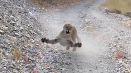 Graba durante seis minutos cómo le persigue un puma protegiendo a sus crías