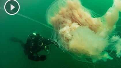 Buceando con una medusa XL en la ría de Vigo