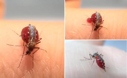 Video: Sorprendente estos Mosquitos beben sangre hasta Explotar