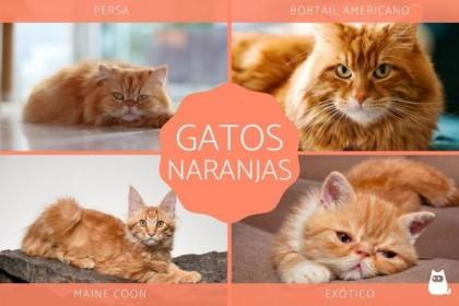 Razas de gatos naranjas